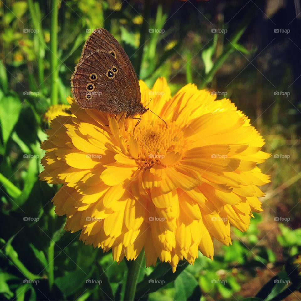 Aphantopus hyperantus drinking nectar on marigold flower🦋🌼