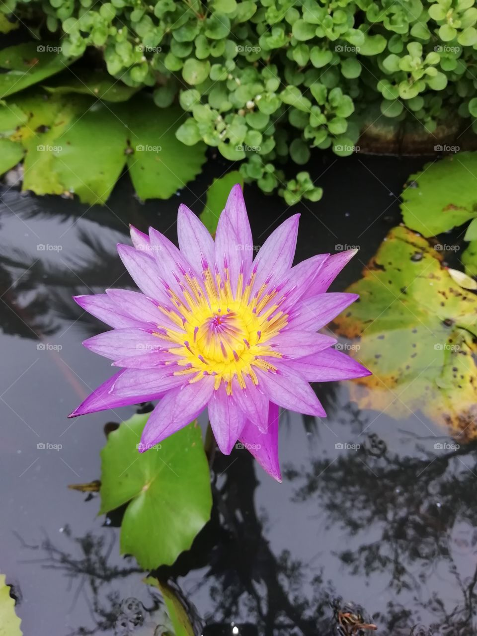 water lily close up snap