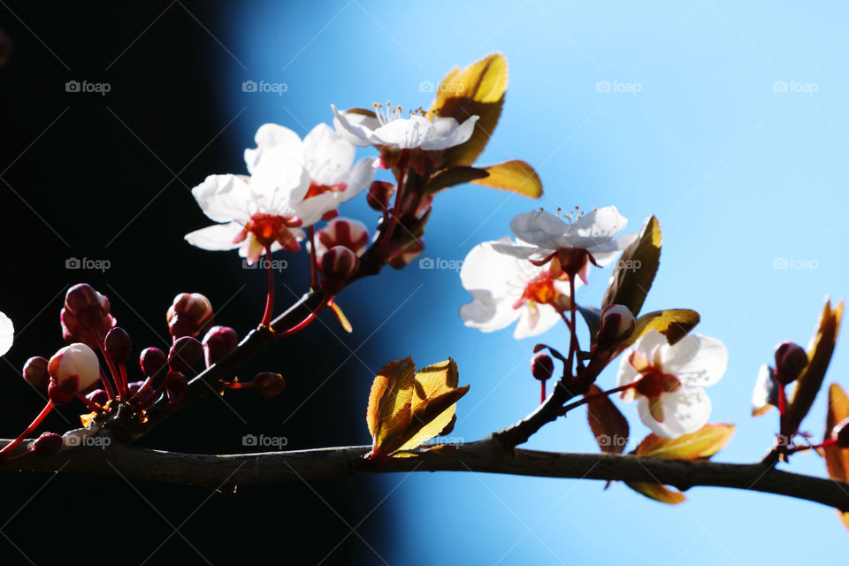 Plum branch with buds opening into flowers, springing in spring