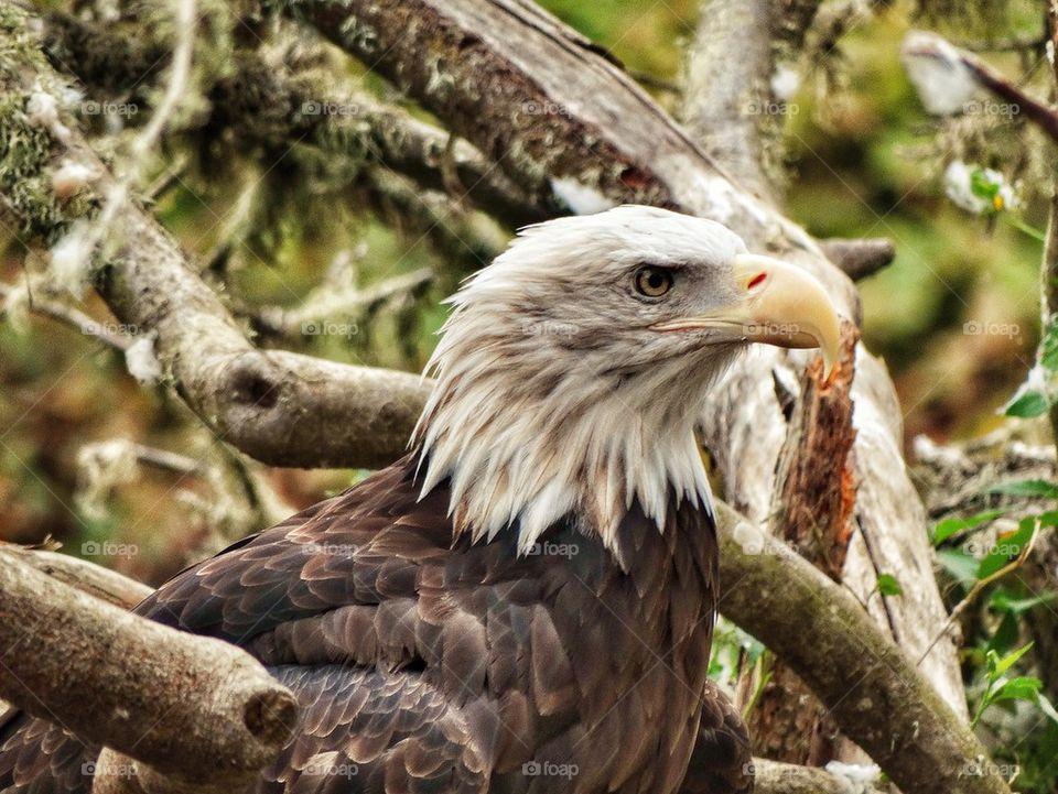 Noble American Bald Eagle. Profile Of Bald Eagle