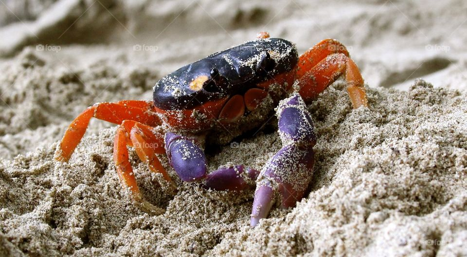 Colorful crab found on Tortuga Island in Costa Rica