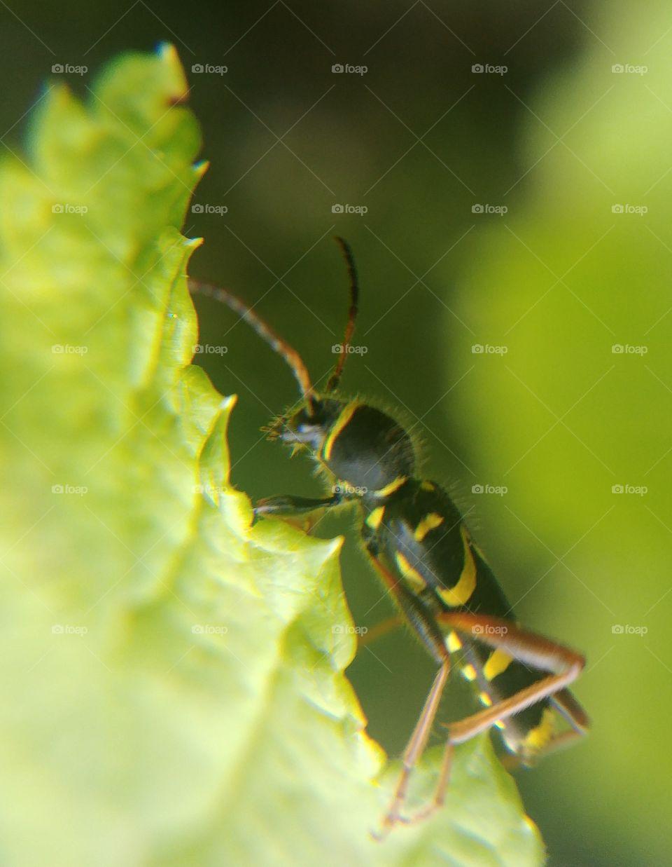 insekt käfer gelb schwarz blatt