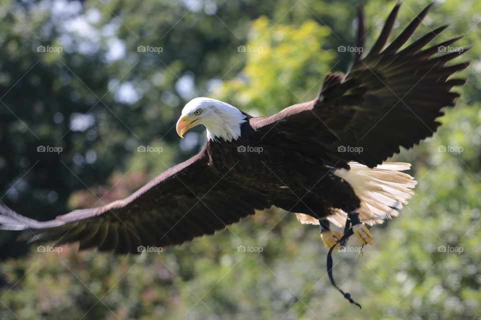Eagle . Bird of Prey show at RHS Wisely gardens - was lucky to catch this bald eagle in flight. Magnificent bird.