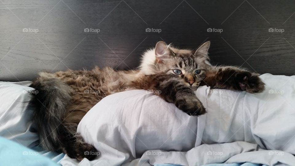 Cat on Pillow--life is hard for him