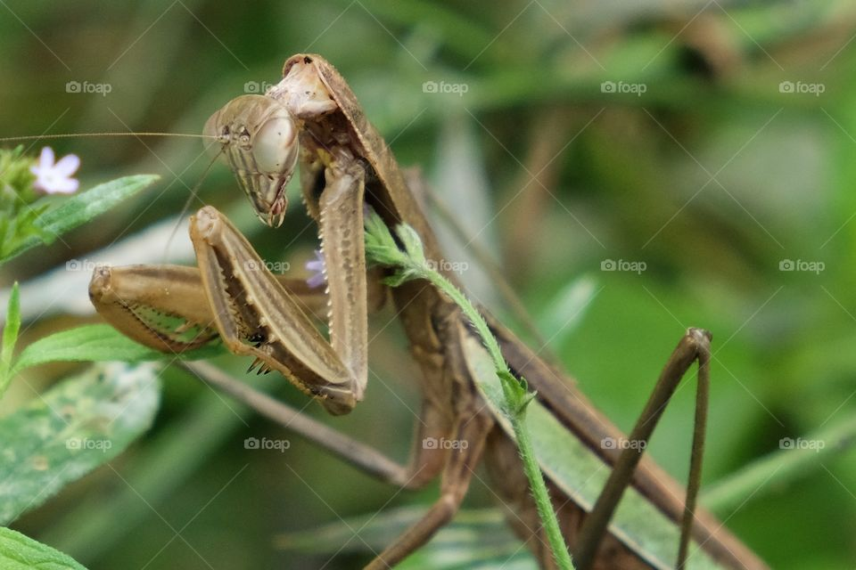 A large female Chinese Mantis stands motionless in the bushes waiting for prey at Yates Mill County Park in Raleigh North Carolina.