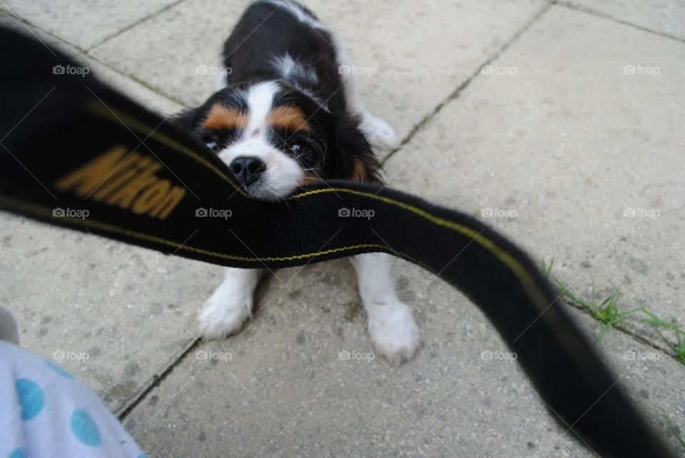 Walter the puppy playing tug of war with a Nikon camera strap, that was still attached to the camera! He was too exited for his first photo shoot!