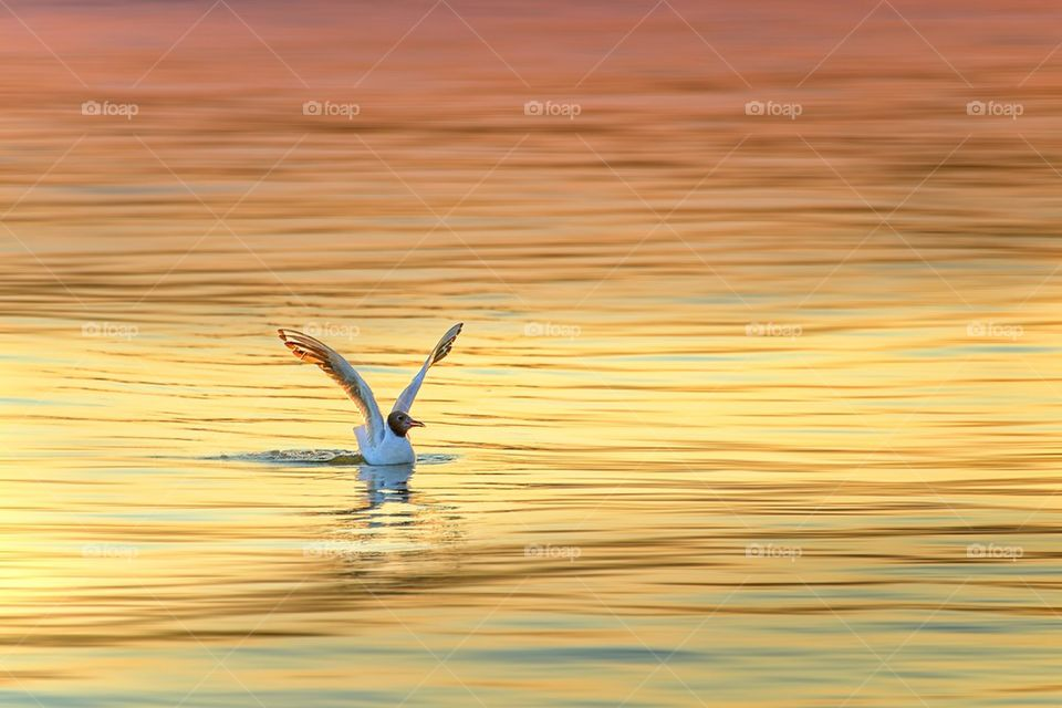 Seagull flapping its wing while floating on water