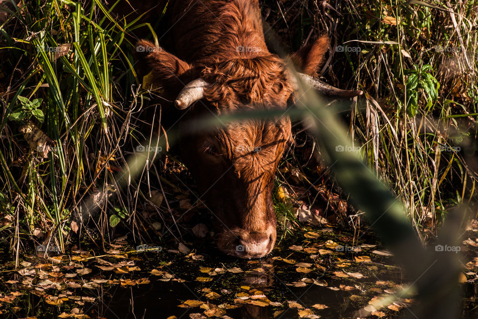 Cow. A young brown cow drinking water outdoor