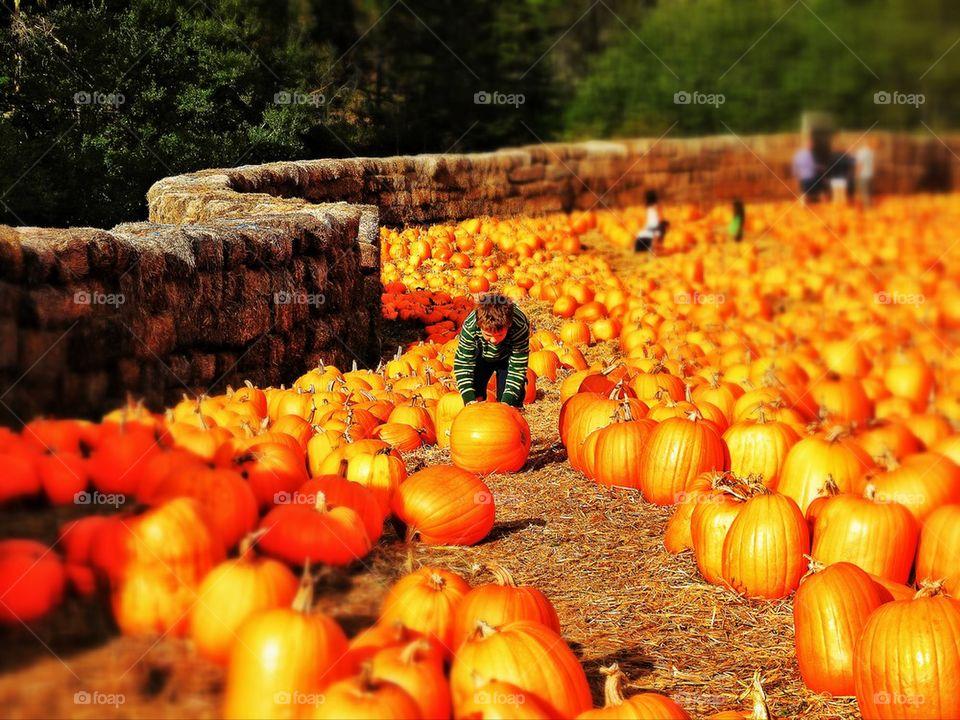 Pumpkin patch at harvest time