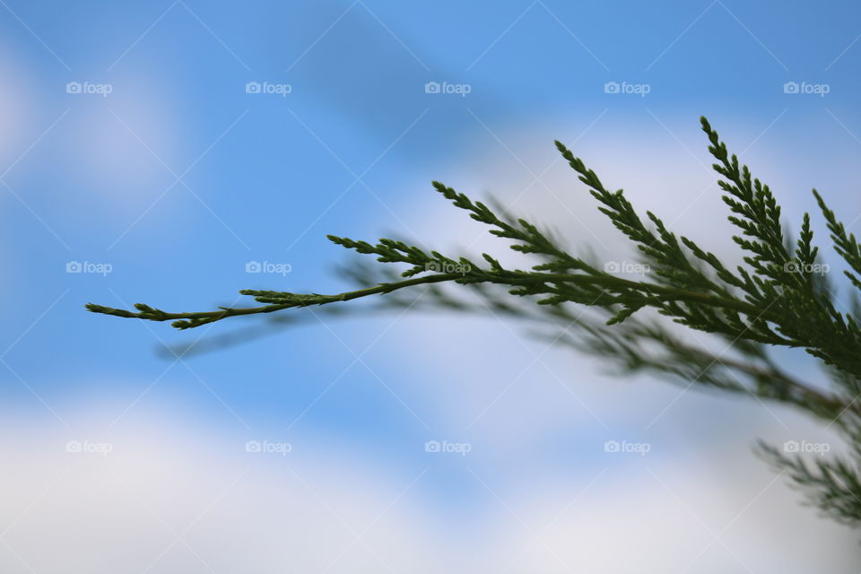 evergreen branch and sky