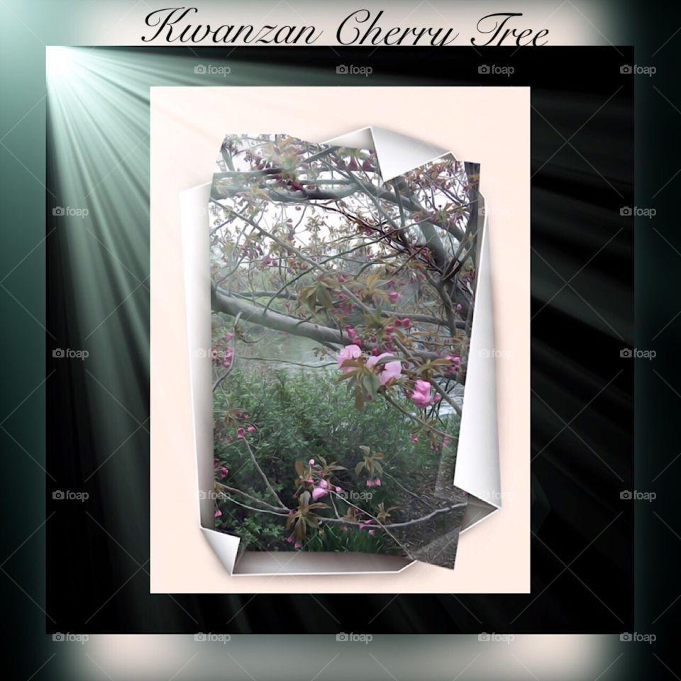 Kwanzan Cherry Tree, - Central Park, New York City. Instagram,@PennyPeronto