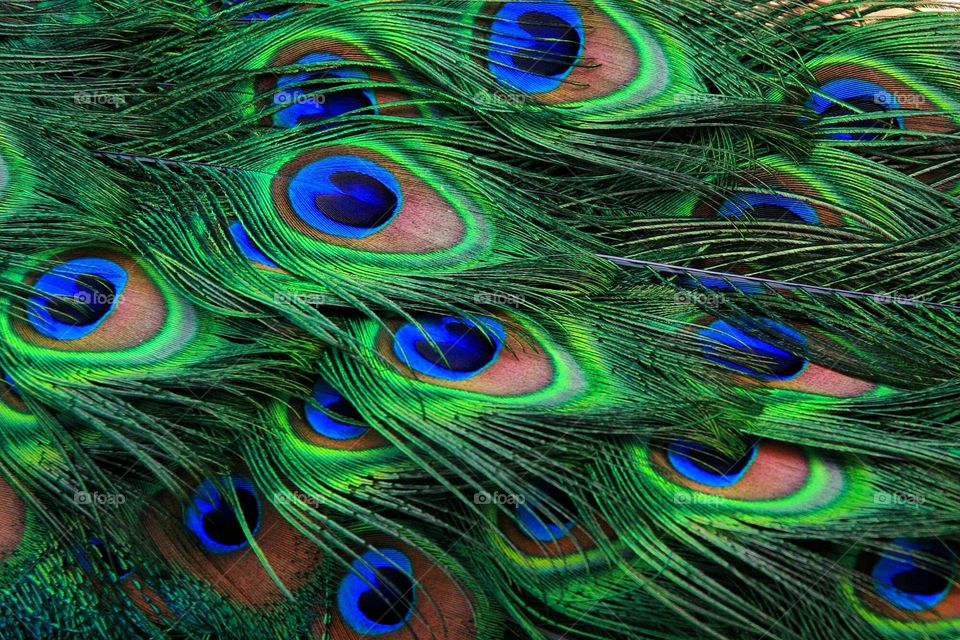 Peacock feathers detail close up