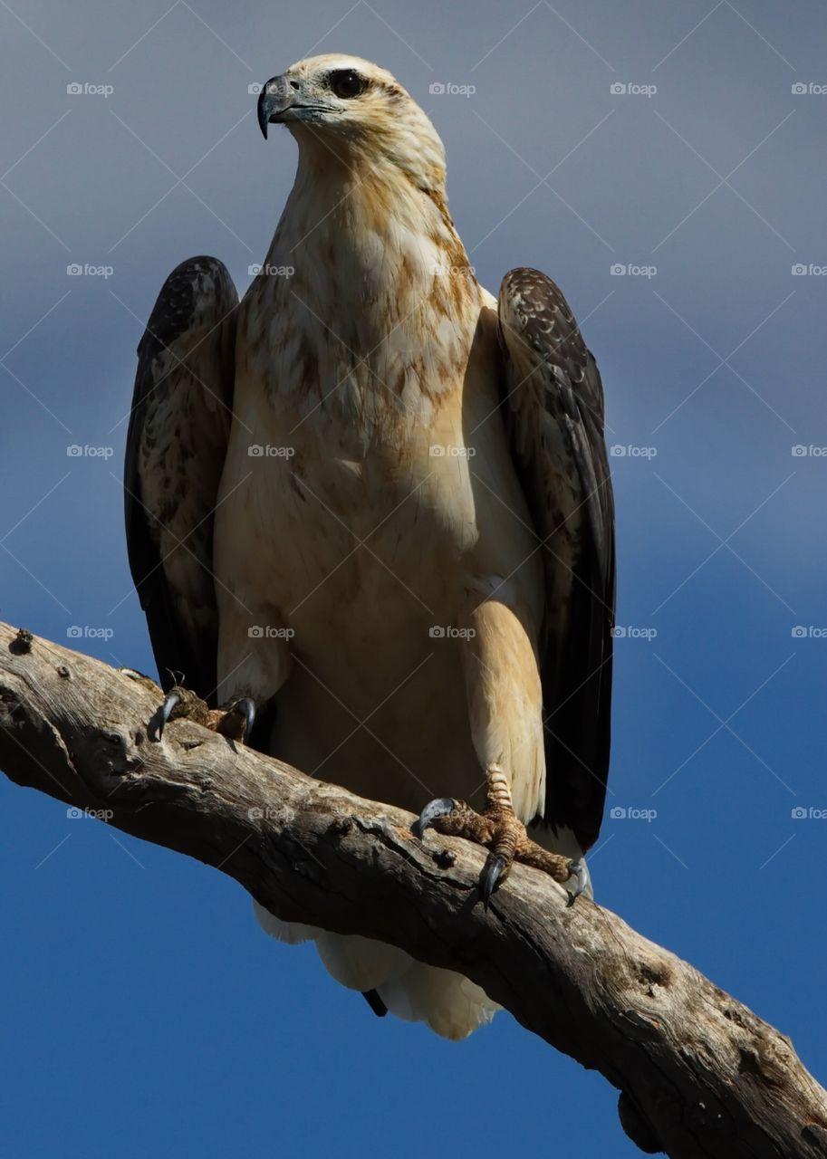 White Breasted Sea Eagle