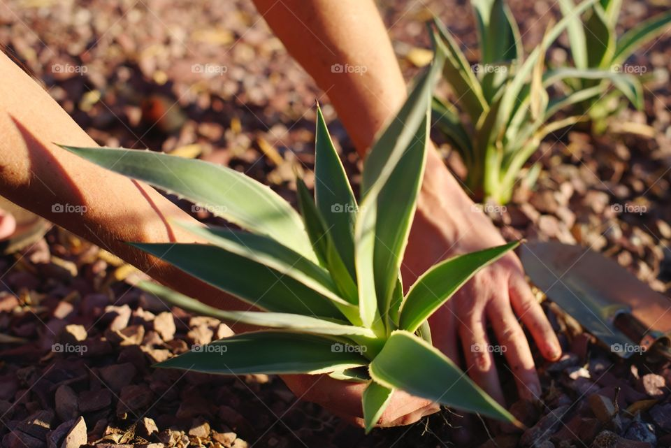 Planting Agave in the yard.