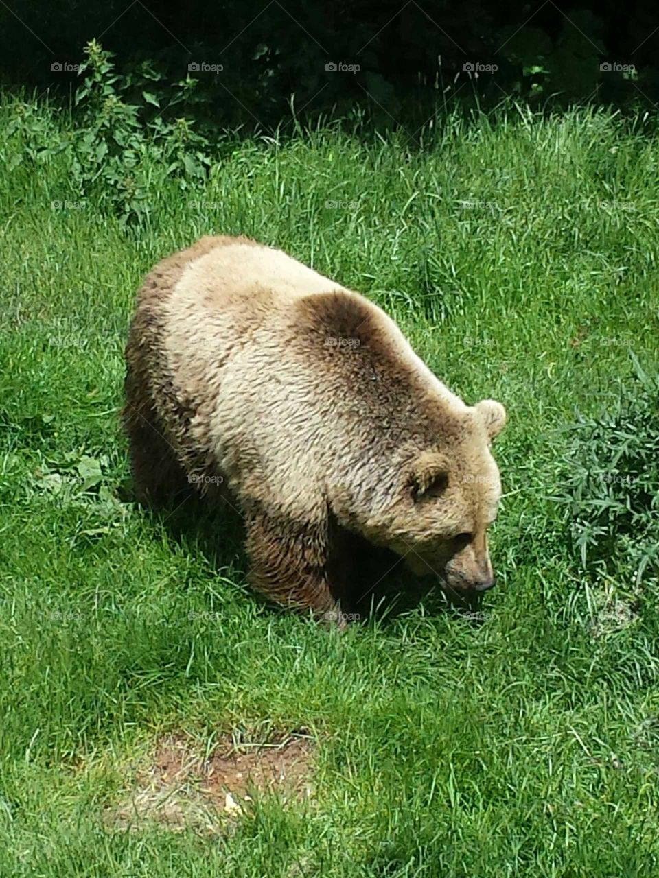 Just a Brown Bear munching on the Grass