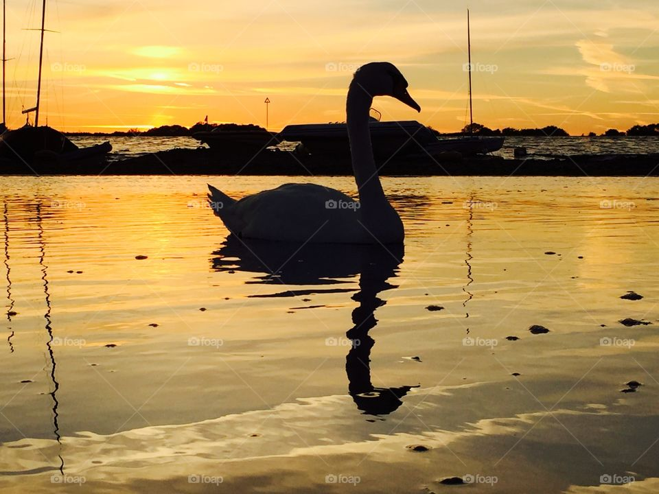 Mute Swan silhouette at dusk . Mute Swan silhouette at dusk