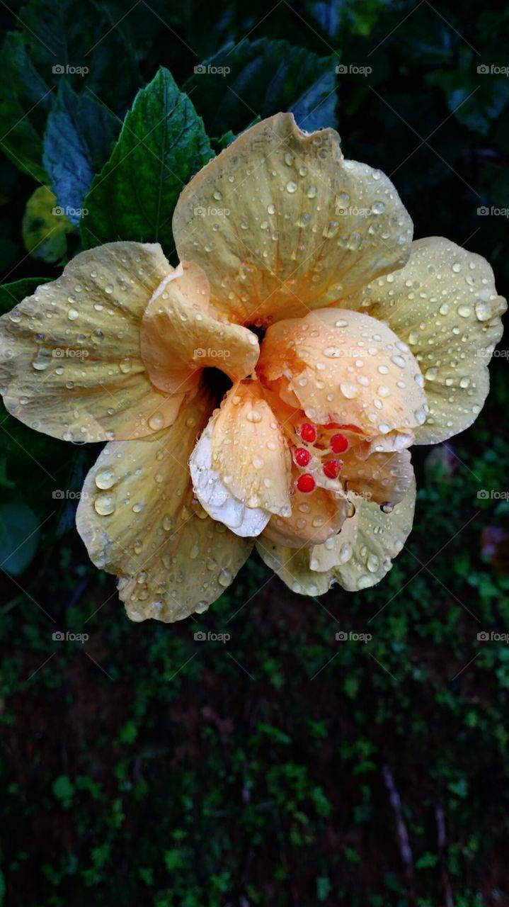 wet hibiscus flower