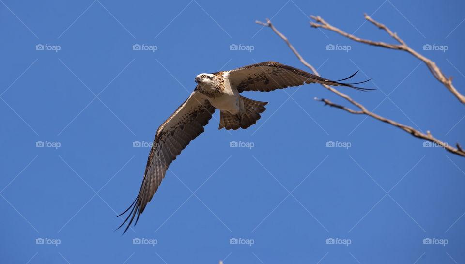 western osprey in flight at a wetlands