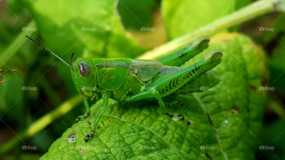 Cricket on green leaf