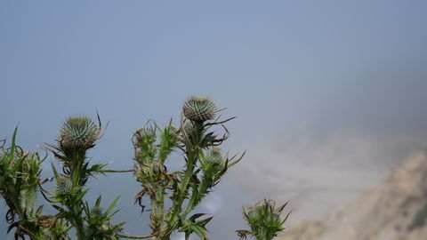 Thistle growing on a cliff