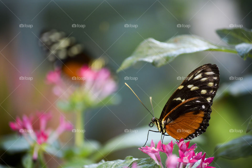 Orange Butterflies on Pink Flowers