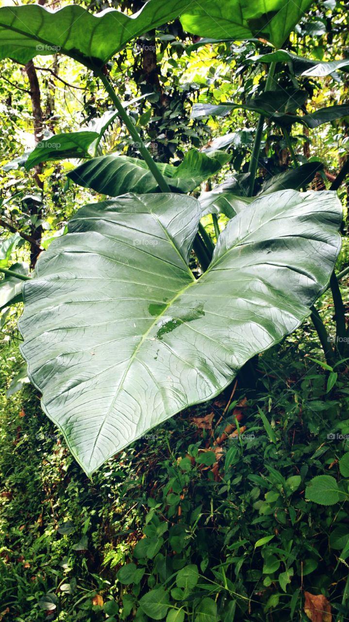 taro plant leaf