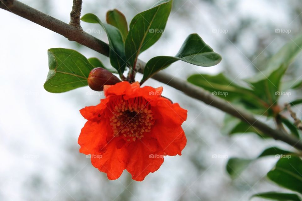 Close-up of red pomegranate flower