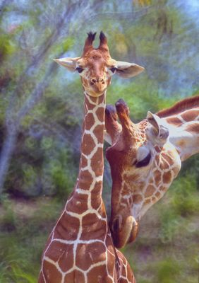 Young giraffe and his mother