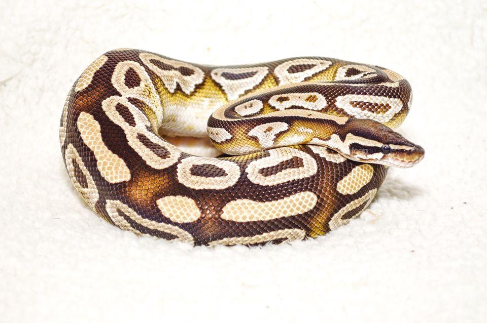 Mojave ball python one white backdrop