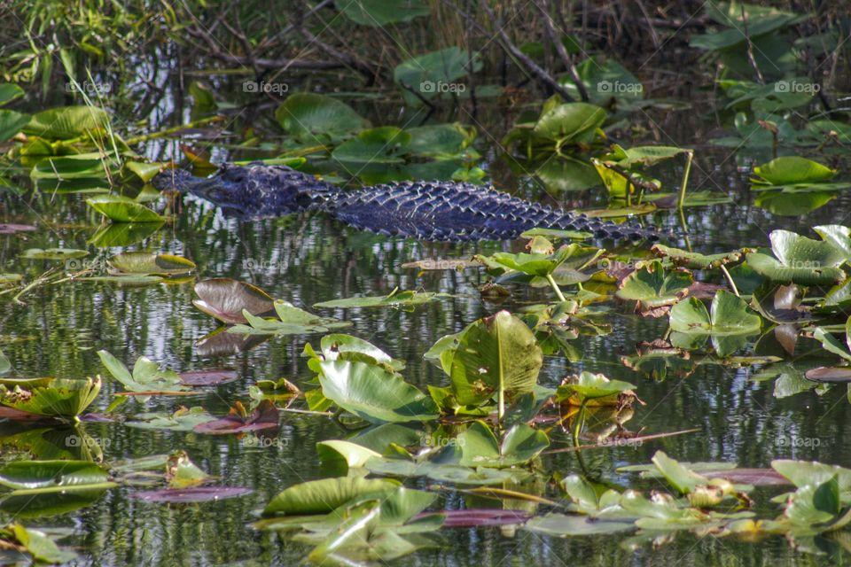 Alligator in a swamp.