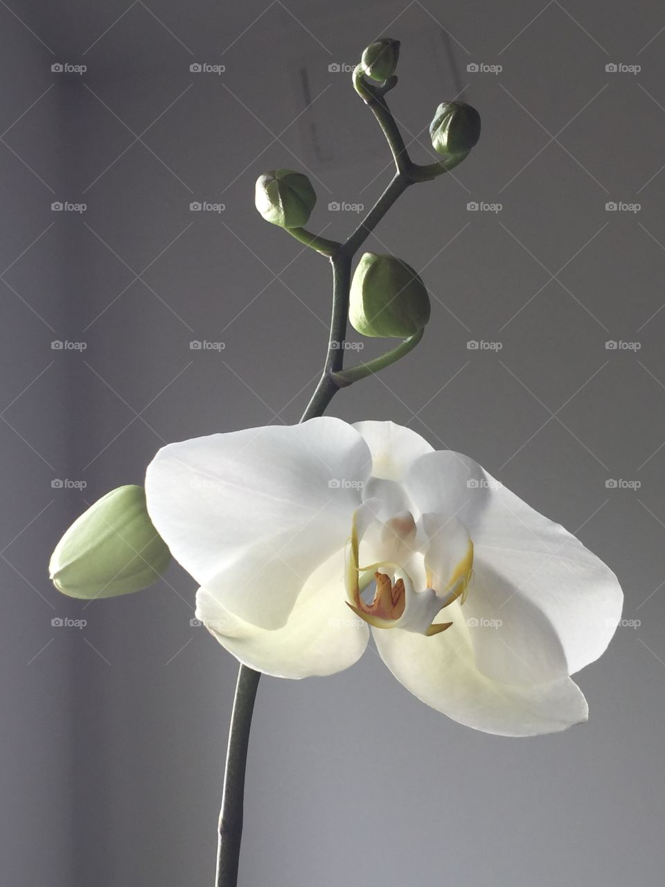 White Phalaenopsis with buds