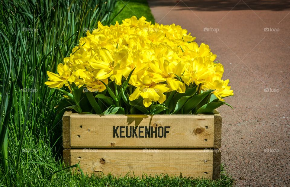 Nature beauty. Keukenhof, Holland