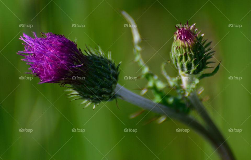 Thistle flower closeup