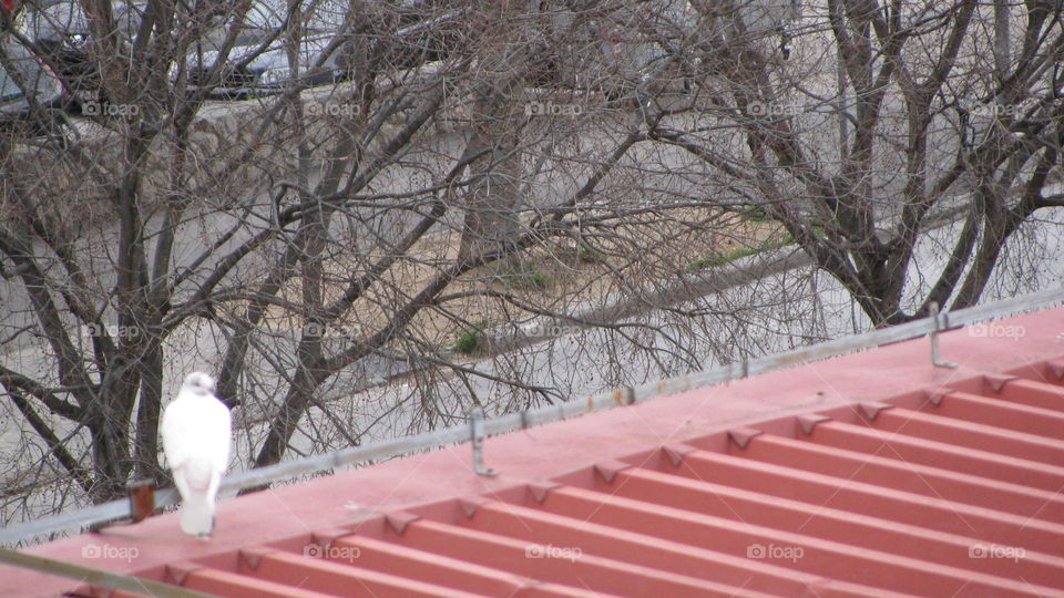 A Dove on the Roof