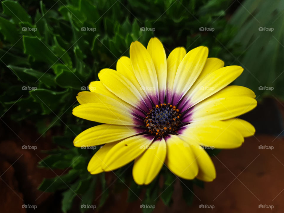 yellow flower with purple centre