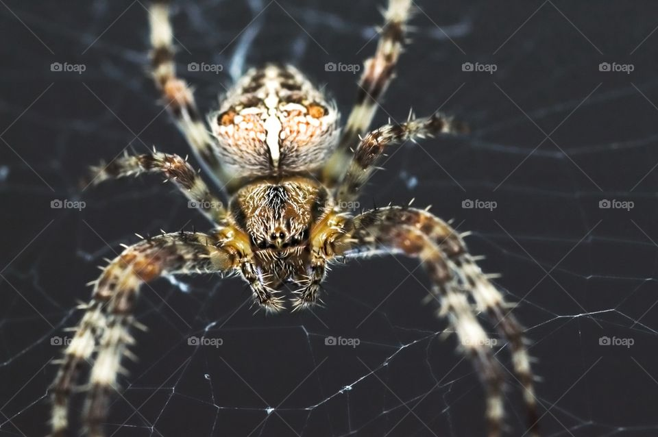 Cross Orb Weaver Spider not so thrilled about being the center of attention