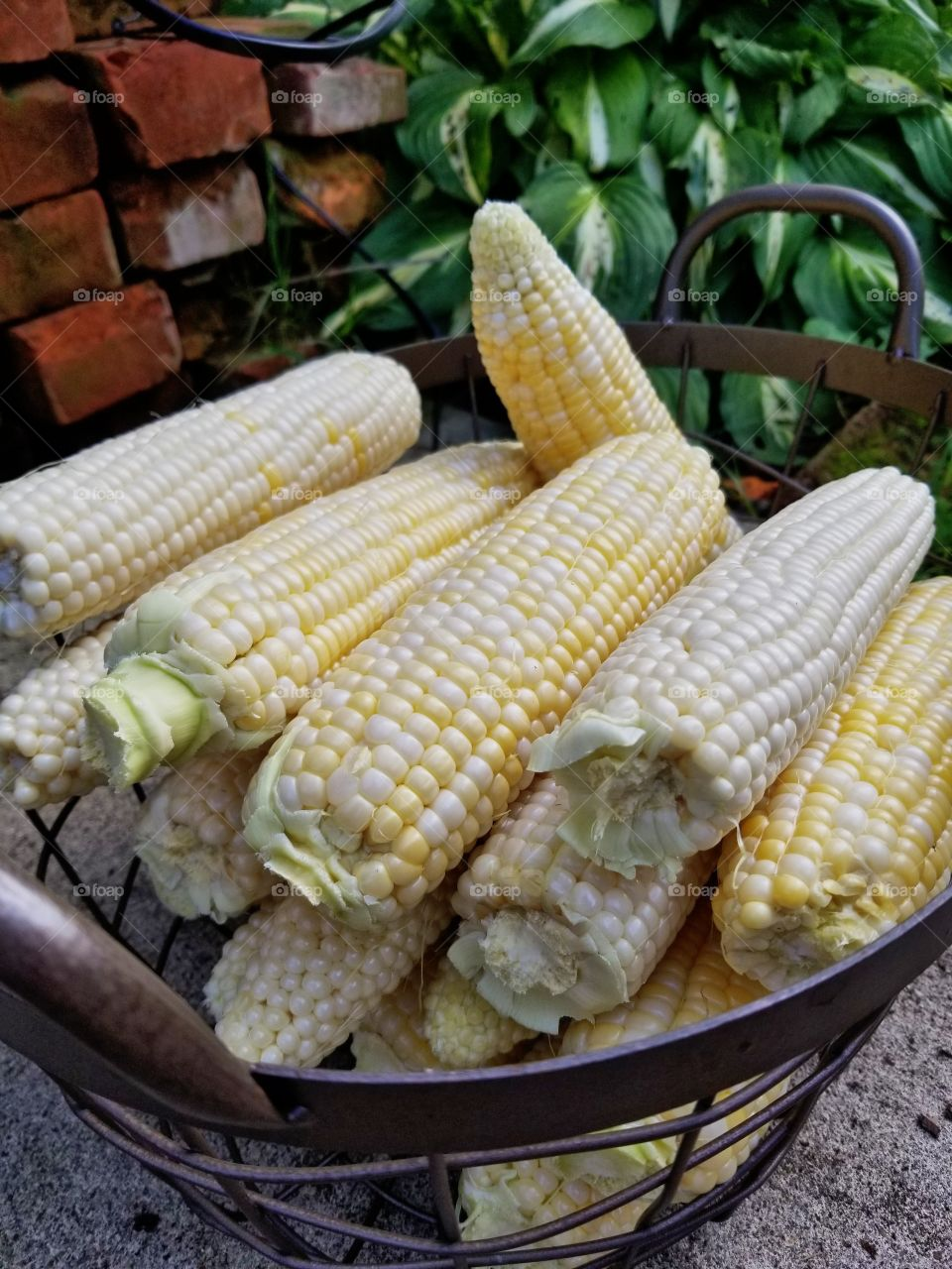 Fresh Corn On The Cobb straight from the farm🌽
